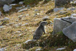 marmotte alps